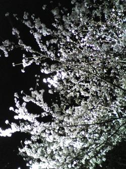 Sakura20080327_1r