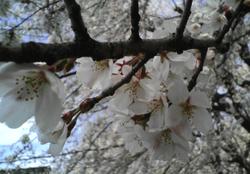Sakura20080329_3r